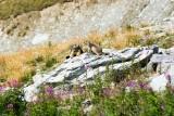 Marmots - © OT Val Thorens
